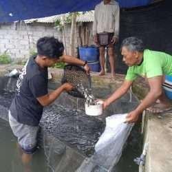 Masa Pandemi, Kelompok Mina Ayu  Masih Kewalahan Penuhi Kebutuhan Benih Ikan